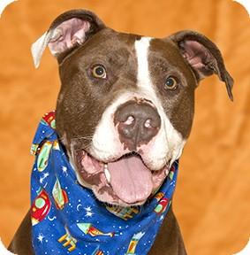 Pit Bull Terrier/Mastiff Mix Dog for adoption in Cincinnati, Ohio - Jake