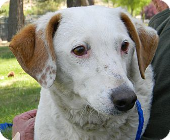 Brittany Mix Dog for adoption in Mountain Center, California - Lexie
