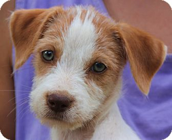 Beagle Mix Puppy for adoption in Pewaukee, Wisconsin - Anna