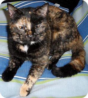 Domestic Shorthair Cat for adoption in Americus, Georgia - Kali