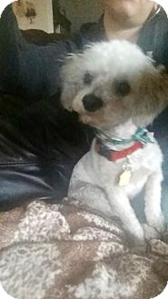 Poodle (Miniature) Mix Dog for adoption in Fair Oaks Ranch, Texas - Bella