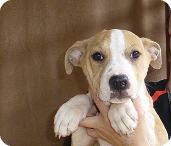 American Bulldog Mix Puppy for adoption in Oviedo, Florida - Honey