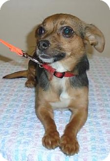 Chihuahua Mix Dog for adoption in Gary, Indiana - Bella