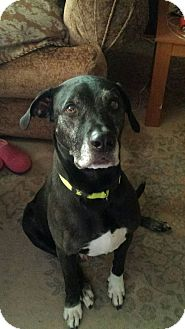Labrador Retriever/Great Dane Mix Dog for adoption in Las Vegas, Nevada - Clyde