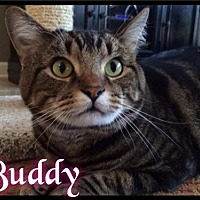 Adopt A Pet :: Buddy - Foster 2015 - Maumelle, AR