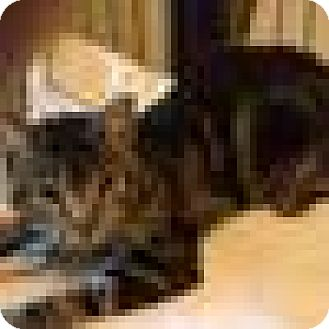 Domestic Shorthair Cat for adoption in Port Richey, Florida - EMERGENCY RESCUE NEEDED