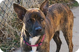 Cattle Dog/Boxer Mix Dog for adoption in Indianapolis, Indiana - Neenah