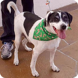 Pointer Mix Dog for adoption in Los Angeles, California - Gideon cow-patch cuddler