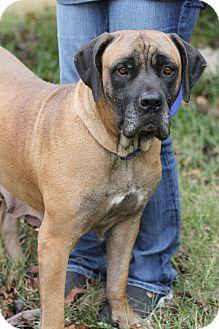 Mastiff Mix Dog for adoption in Killeen, Texas - Reba