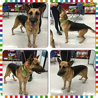 German Shepherd Dog Dog for adoption in Fort Worth, Texas - Hawkeye