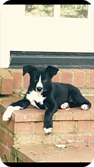 Border Collie/Shepherd (Unknown Type) Mix Puppy for adoption in Greenfield, Wisconsin - mags