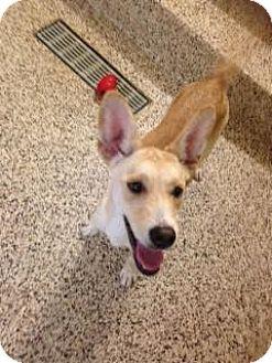 Carolina Dog/Siberian Husky Mix Dog for adoption in Aiken, South Carolina - Bonnie
