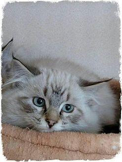 Siamese Kitten for adoption in Pueblo West, Colorado - Frieda