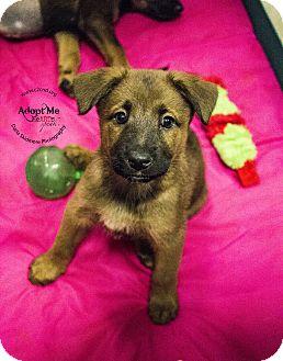 German Shepherd Dog Mix Puppy for adoption in Charlotte, North Carolina - Meg (Little Women Litter)