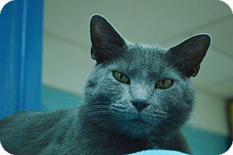 Domestic Shorthair Cat for adoption in Evansville, Indiana - Gustav