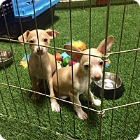 Adopt A Pet :: Tyson and Soldier - Sun Valley, CA