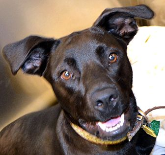 Labrador Retriever Mix Dog for adoption in Independence, Missouri - Summer