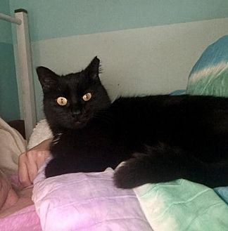 Domestic Shorthair Cat for adoption in Troy, Illinois - Ivy (Fostered Jamie O)