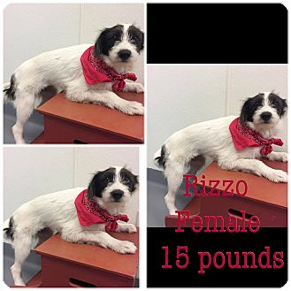 Fox Terrier (Wirehaired)/Miniature Schnauzer Mix Puppy for adoption in Hearne, Texas - Rizzo