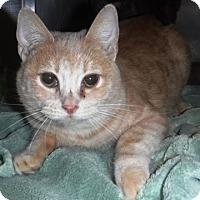 Domestic Shorthair Cat for adoption in Redding, California - Paula Deen
