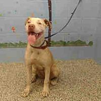 Pit Bull Terrier Mix Dog for adoption in San Bernardino, California - URGENT on 8/10 SAN BERNARDINO