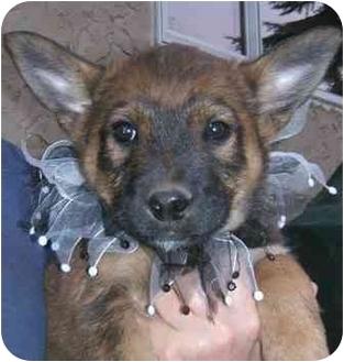 German Shepherd Dog Mix Puppy for adoption in Okotoks, Alberta - Macademia