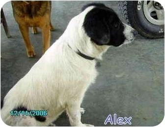 Collie/Field Spaniel Mix Puppy for adoption in Floyd, Virginia - Alex