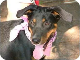 Labrador Retriever Mix Puppy for adoption in Glastonbury, Connecticut - DeeDee