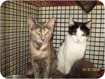 American Shorthair Cat for adoption in Grand Saline, Texas - Lilly and Tilly