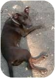 Doberman Pinscher/Labrador Retriever Mix Puppy for adoption in Richmond, Virginia - Alley