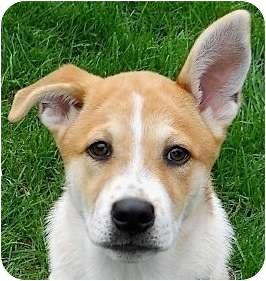 Siberian Husky/Cattle Dog Mix Puppy for adoption in Kingwood, Texas - Hattie