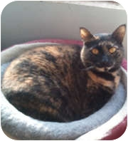 Domestic Shorthair Cat for adoption in Anchorage, Alaska - Brenda