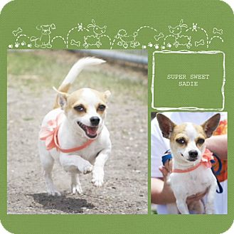 Chihuahua/Terrier (Unknown Type, Small) Mix Dog for adoption in Corpus Christi, Texas - Sadie