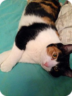 Domestic Shorthair Cat for adoption in Des Moines, Iowa - Suzie