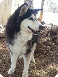Siberian Husky Dog for adoption in Apple valley, California - Augustus