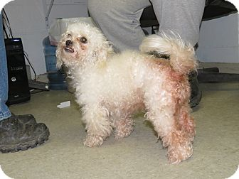 Miniature Poodle Mix Dog for adoption in Henderson, North Carolina - Tweety