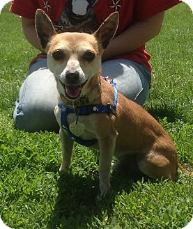 Chihuahua Mix Dog for adoption in New Milford, Connecticut - Toby
