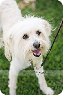 Coton de Tulear/Poodle (Standard) Mix Puppy for adoption in Beverly Hills, California - Taylor Swift
