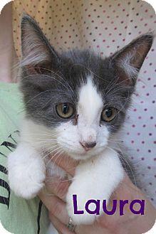 Domestic Shorthair Cat for adoption in Menomonie, Wisconsin - Laura