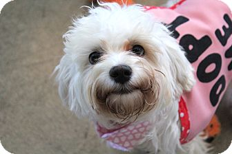 Maltese/Poodle (Miniature) Mix Puppy for adoption in Los Angeles, California - Luci