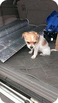 Lhasa Apso/Terrier (Unknown Type, Small) Mix Puppy for adoption in Miami, Oklahoma - Honey