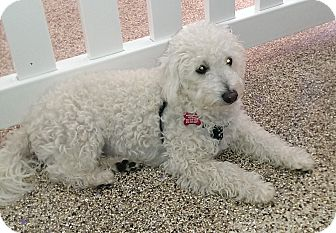 Bichon Frise Mix Puppy for adoption in Thousand Oaks, California - Harvey