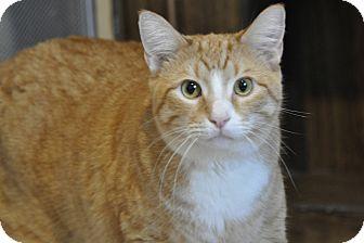 Domestic Shorthair Cat for adoption in Hanna City, Illinois - Tigger