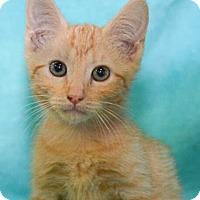 Adopt A Pet :: Soybean - Reston, VA