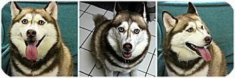 Husky Dog for adoption in Forked River, New Jersey - Juno