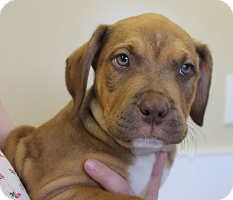 Pit Bull Terrier Mix Puppy for adoption in Seville, Ohio - Storm