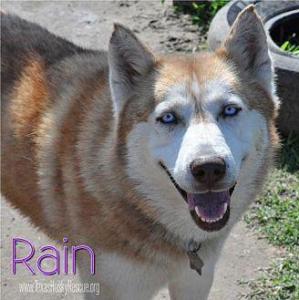 Siberian Husky Dog for adoption in Carrollton, Texas - Rain