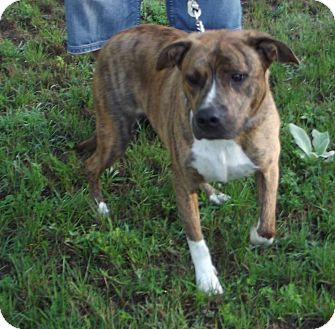 Pit Bull Terrier Mix Dog for adoption in Cheboygan, Michigan - Tank