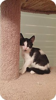Domestic Shorthair Kitten for adoption in Manasquan, New Jersey - PPBAWC BW Male