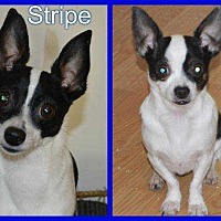 Adopt A Pet :: Squirt & Stripe - LaGrange, OH
